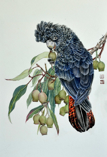 Red Tail Black Cockatoo. Unframed, watercolour on watercolour paper,  Limited Prints Available (360mm x 530mm), unframed.