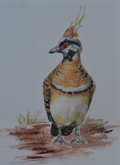Spinifex Pigeon, Watercolour on Watercolour paper. (170mm x 250mm), unframed.