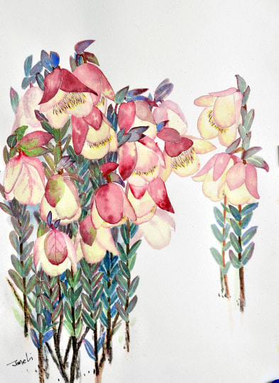 Qualup bell flower. Watercolour on Watercolour paper. (250mm x 340mm), unframed.