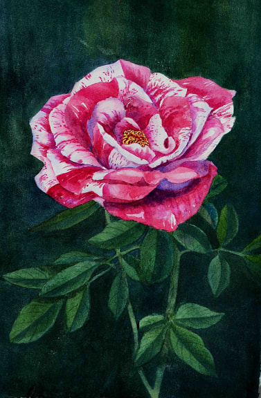 The Pink Rose.  Unframed watercolour on paper, (260mm x 390 mm)