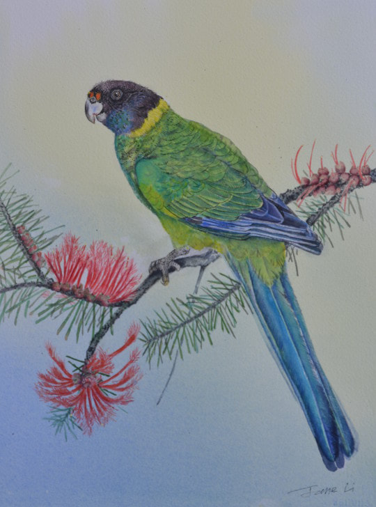Ringneck Parrot. Watercolour on Watercolour paper. (250mm x 340mm), unframed.